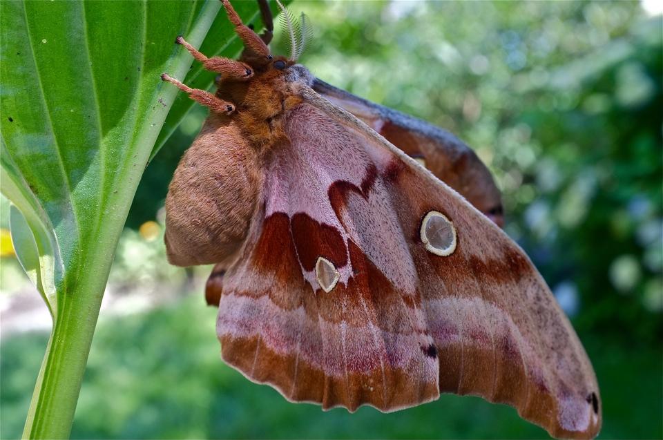 Polyphemus Moth Cocoon Antheraea polyphemus | Kim Smith ...