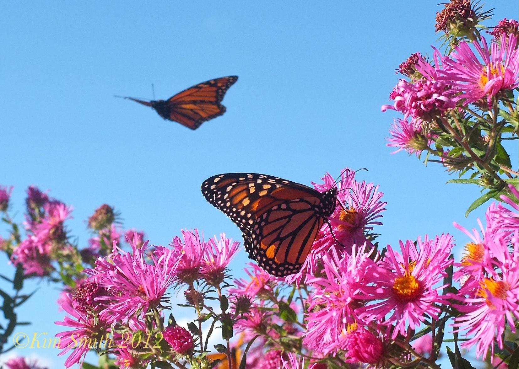 green fork utah monarch butterflies in trouble