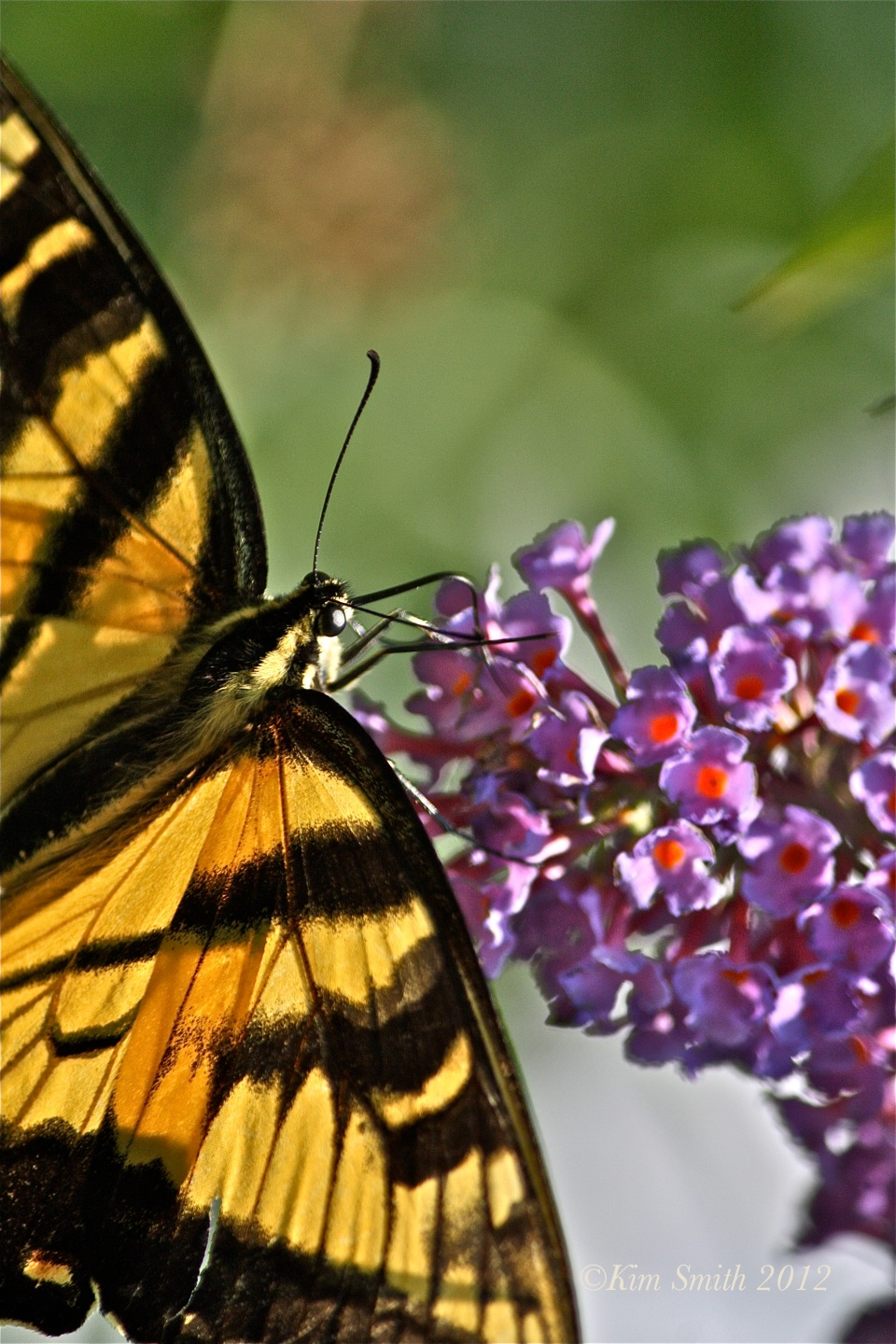 Eastern Tiger Swallowtail ©Kim Smith 2010