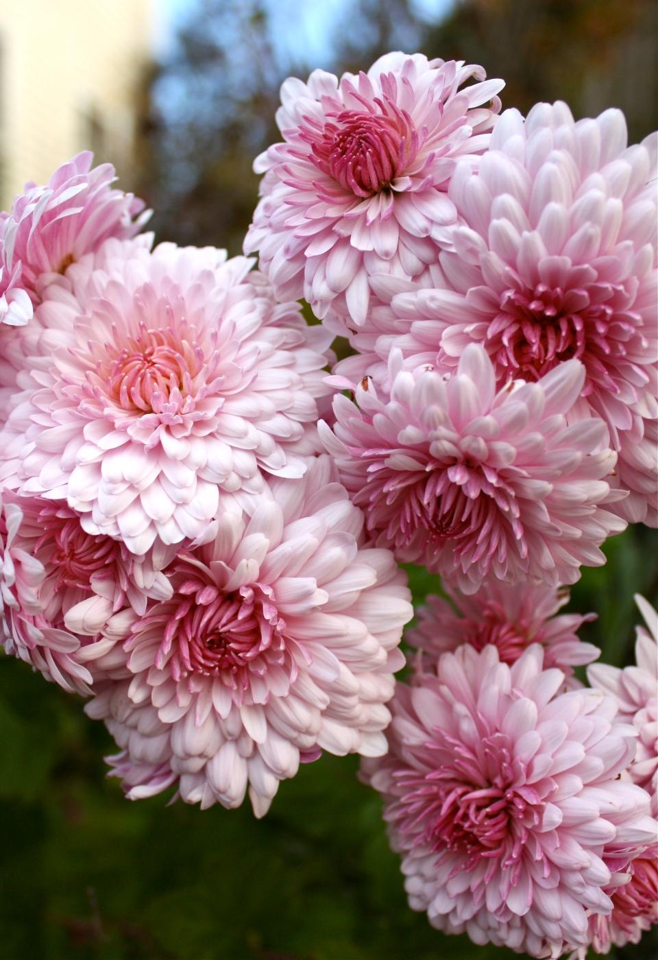 Emperor of China Chrysanthemum ©Kim Smith 2012