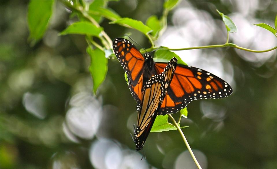 Monarch Butterflies Mating ©Kim Smith 2010.jpg