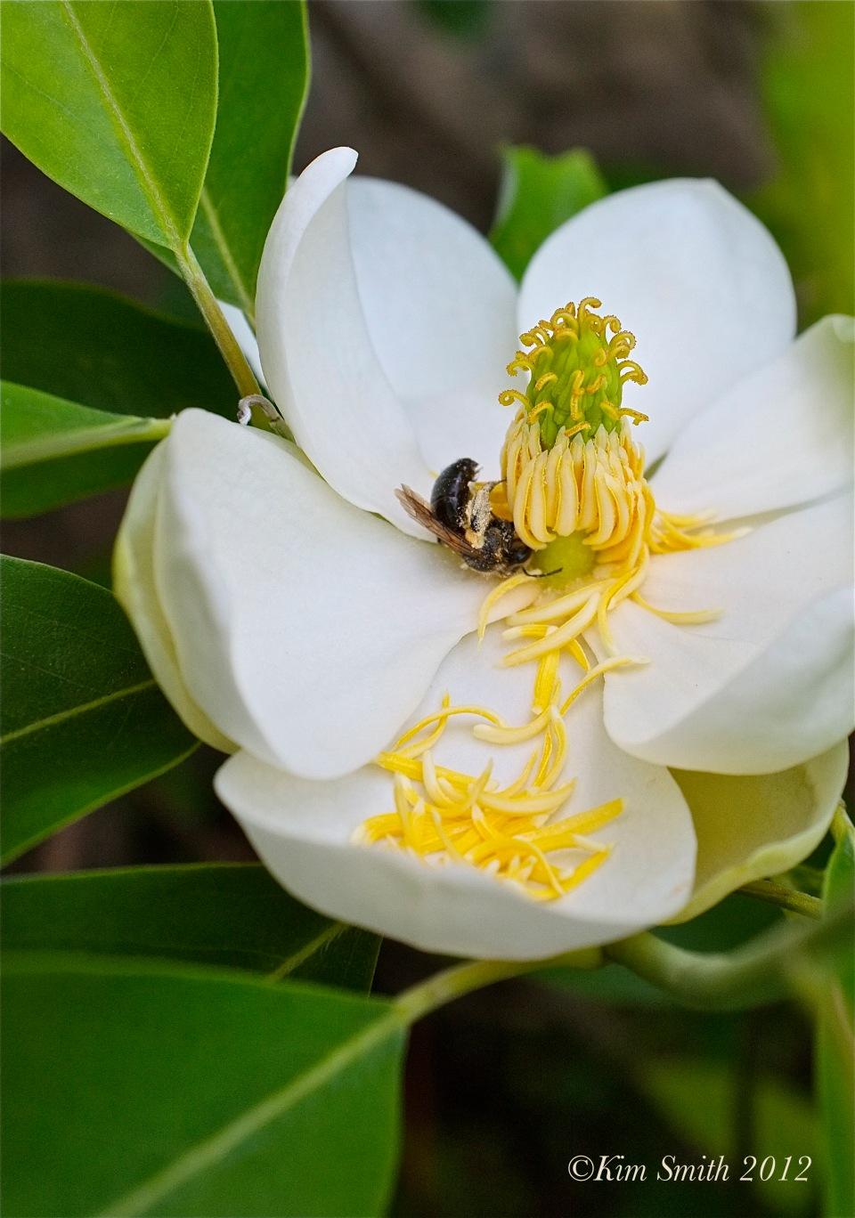 Magnolia virginiana ©Kim Smith 2012 copy