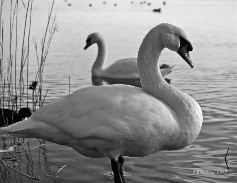 Swans Niles Pond-1 ©KIm Smith 2012
