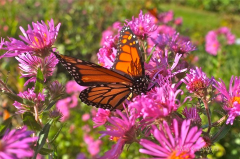 Monarch Butterfly Alma Potchke New England aster ©Kim Smith 2013