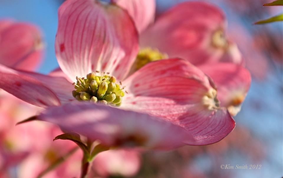 Pink flowering dowood Cornus florida rubra