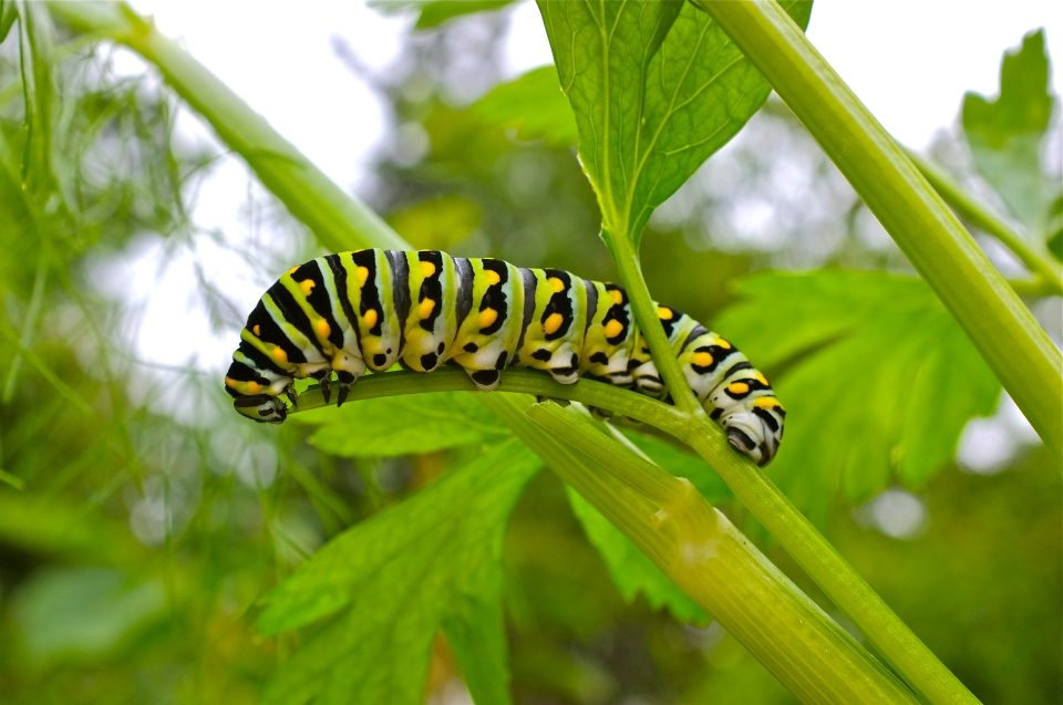 Black Swallowtail Caterpillar parsley ©Kim Smith 2013