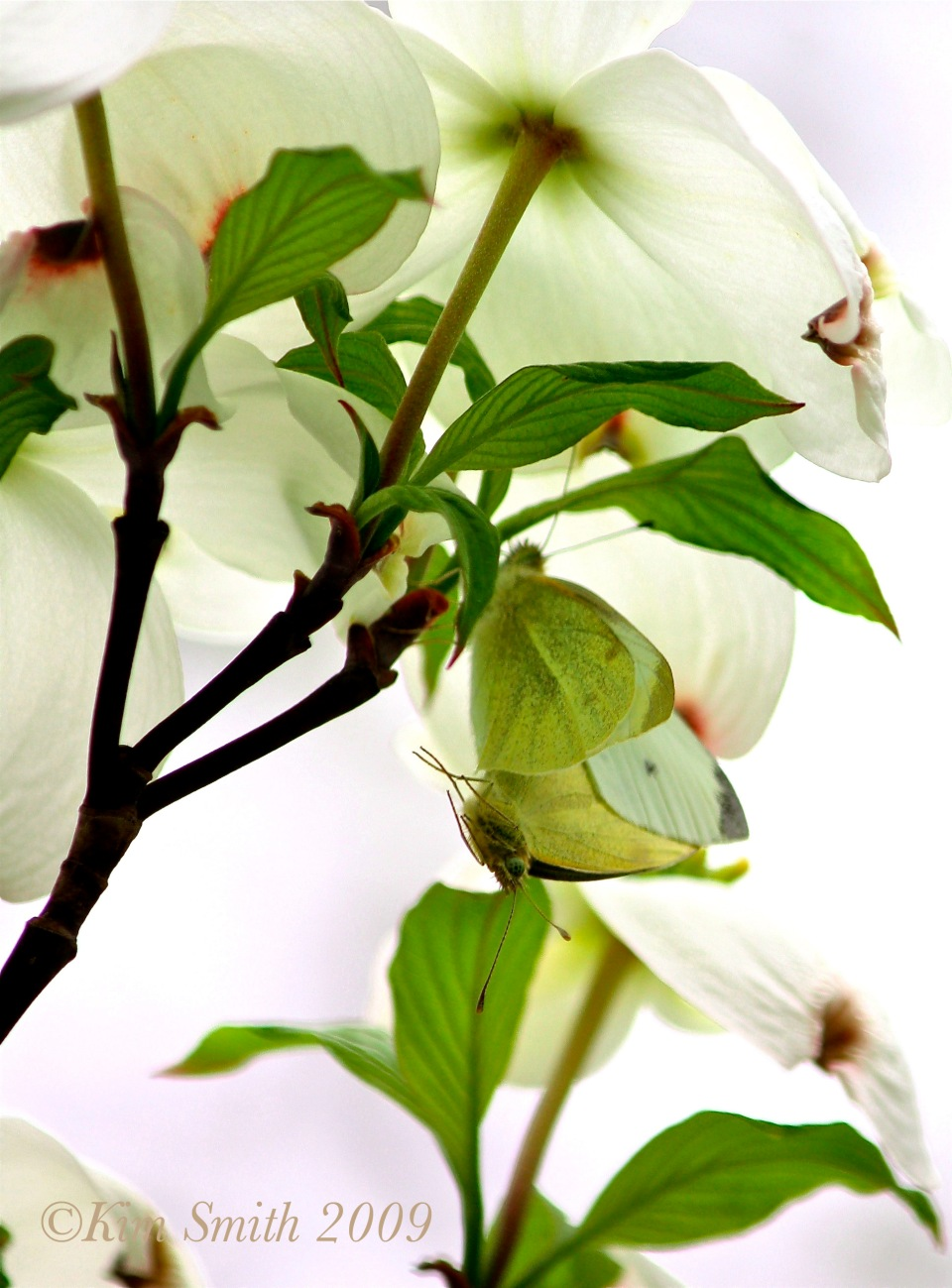 Cabbage White Butterflies mating in Cornus florida ©Kim Smith 2009
