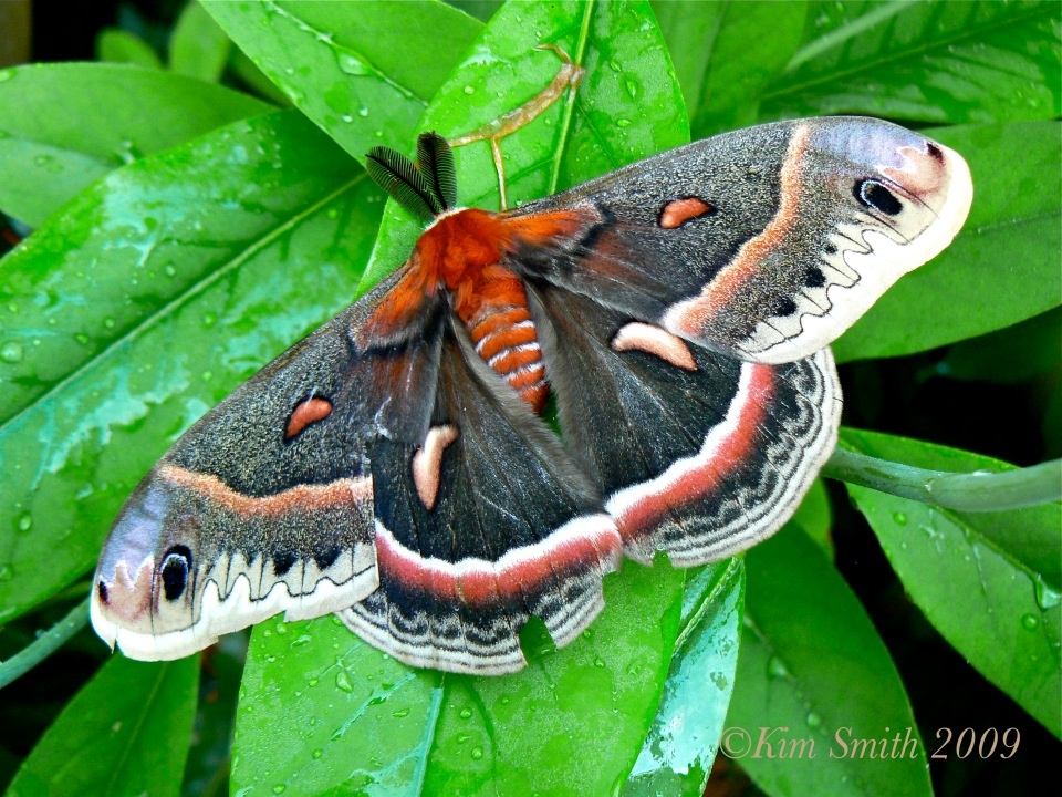 Cecropia Moth ©Kim Smith 20009