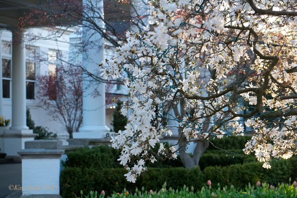 Cincinnati Country Club Magnolia stellata ©Kim Smith 2013