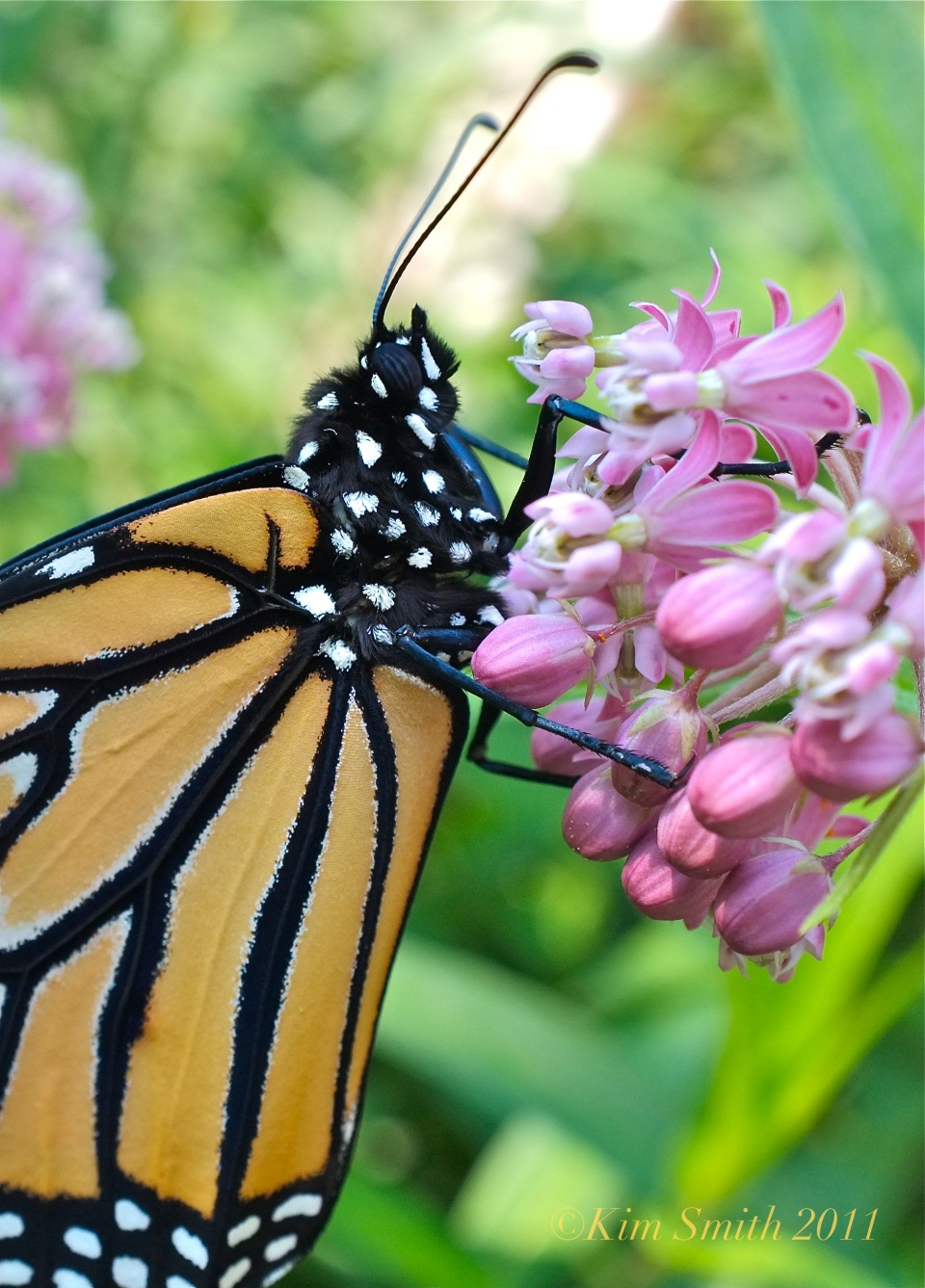 Monarch Butterfly Marsh Milkweed ©Kim Smith 2011