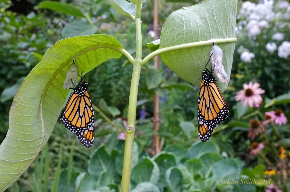Monarch Butterfly Twins ©Kim smith 2011