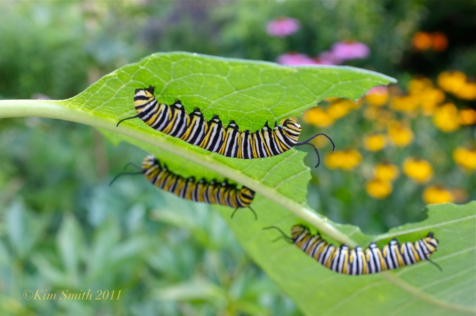 Monarch Caterpillars Feeding on Common Milkweed ©Kim Smith 2011