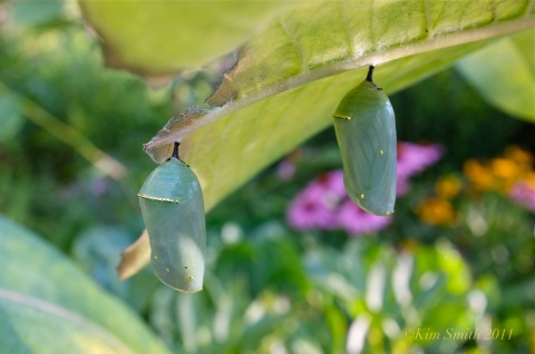 Monarch Chrysalis on milkweed rib ©Kim Smith 2011