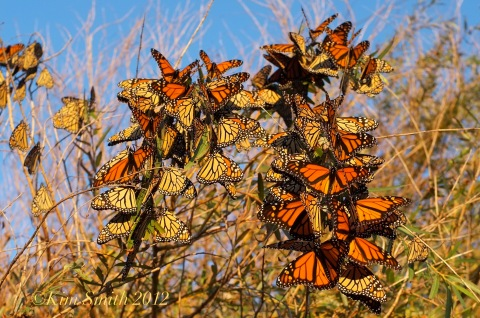 Monarch Willow tree ©Kim Smith 2012 copy