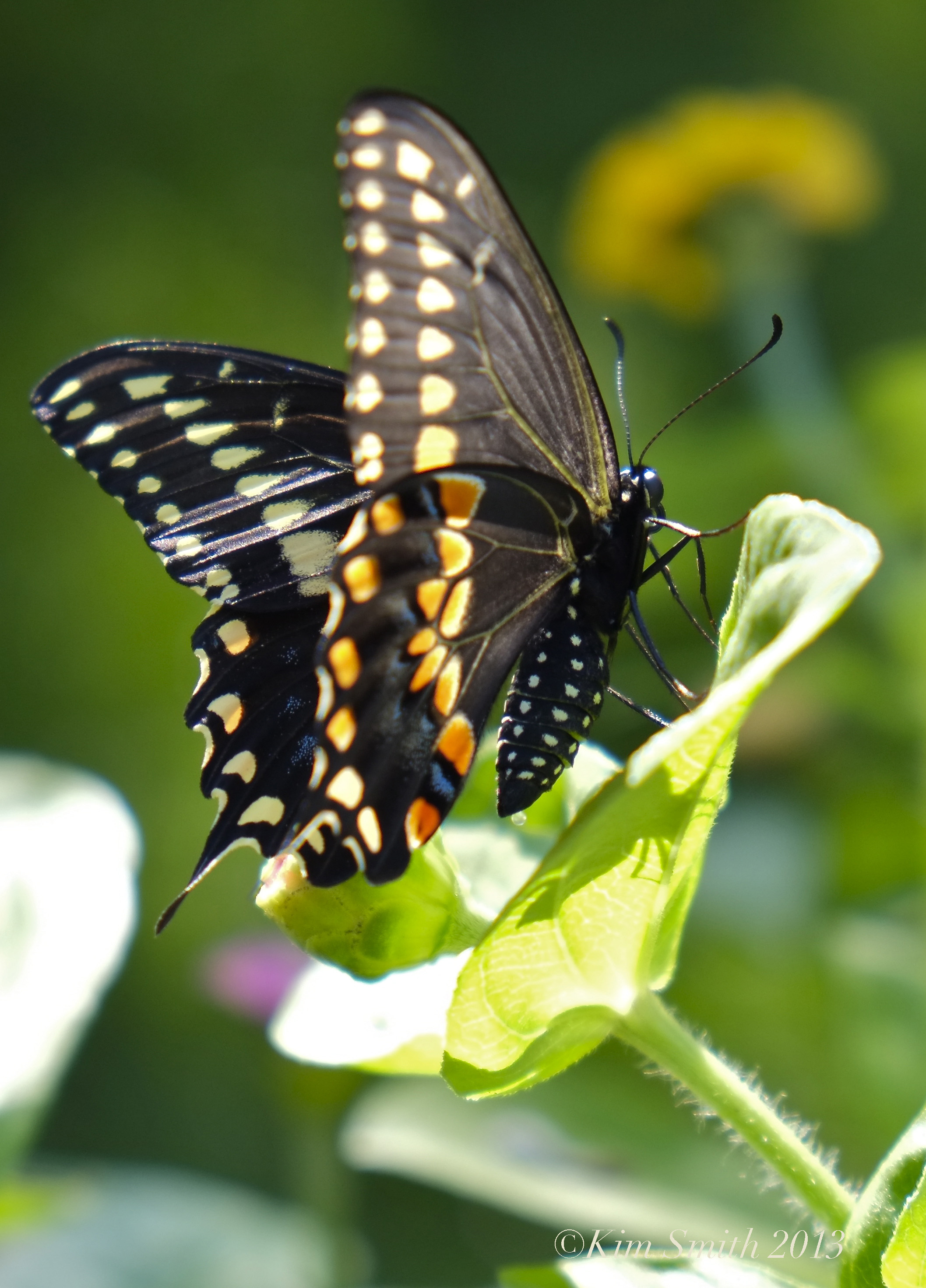 Black Swallowtail Butterfly | Kim Smith Designs