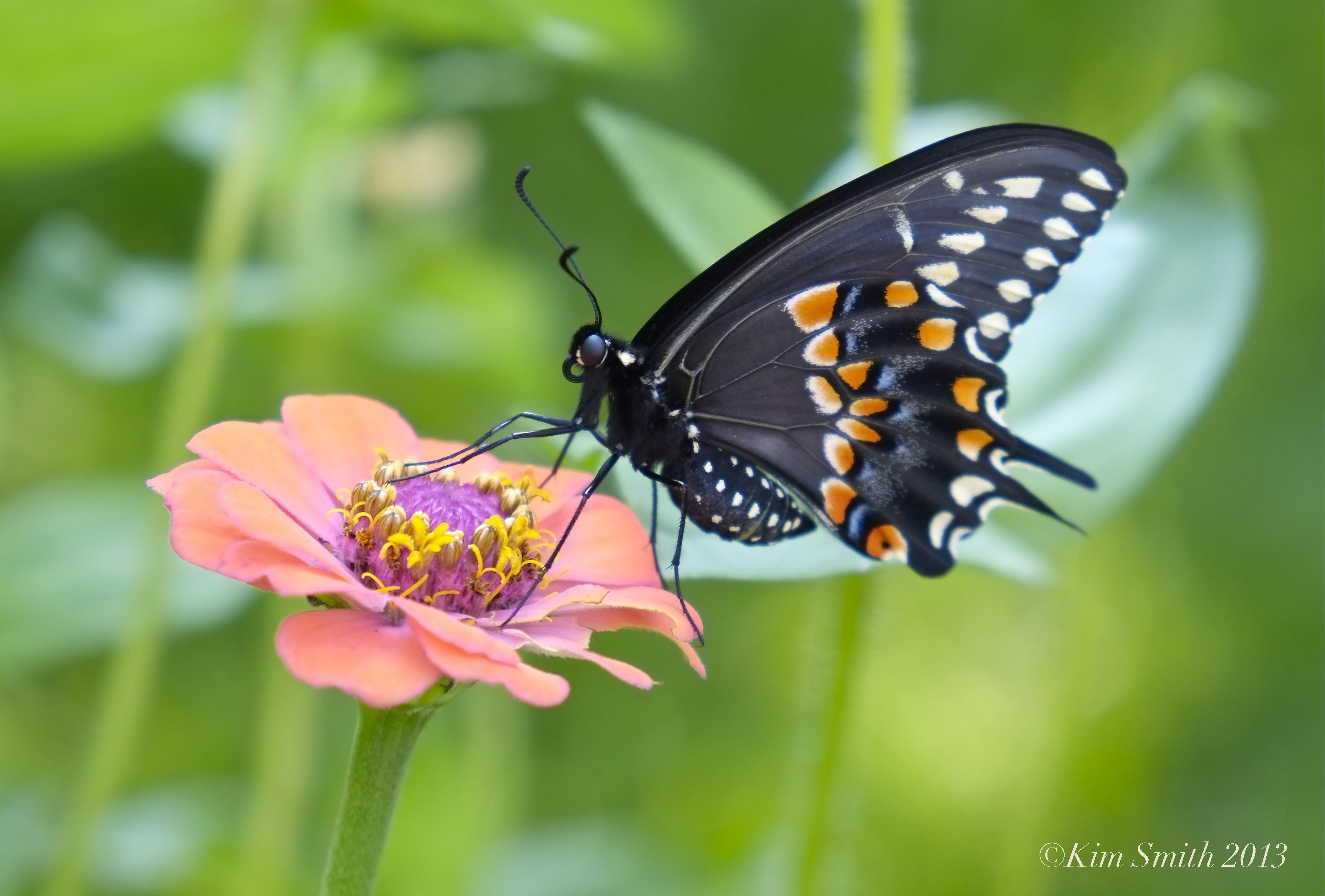 black swallowtail butterfly kim smith designs