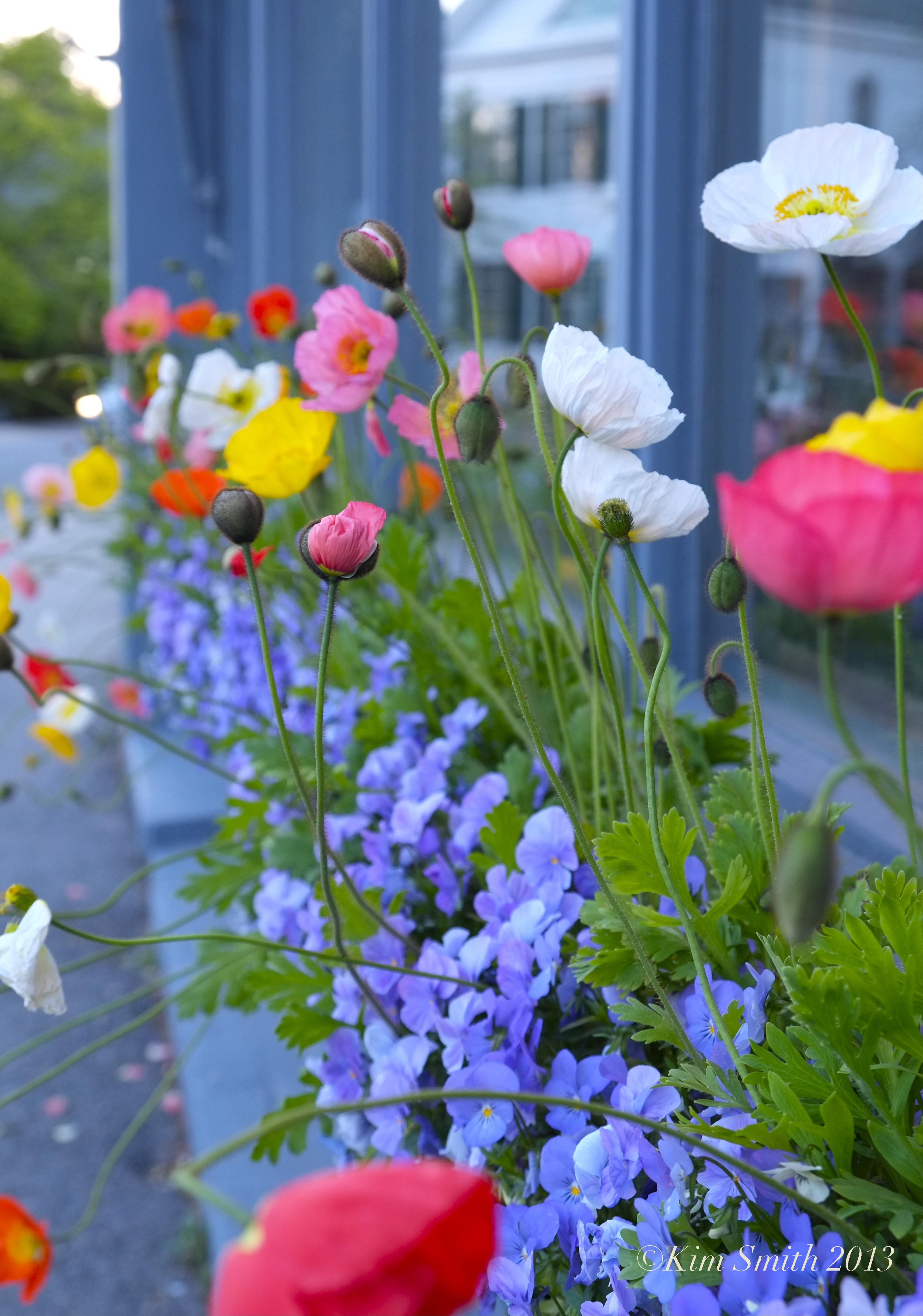 Design inspiration iceland poppies kim smith designs iceland poppies mightylinksfo
