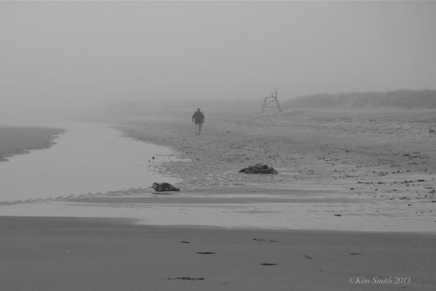 Good Harbor Beach Harbor Seal ©Kim Smith 2013