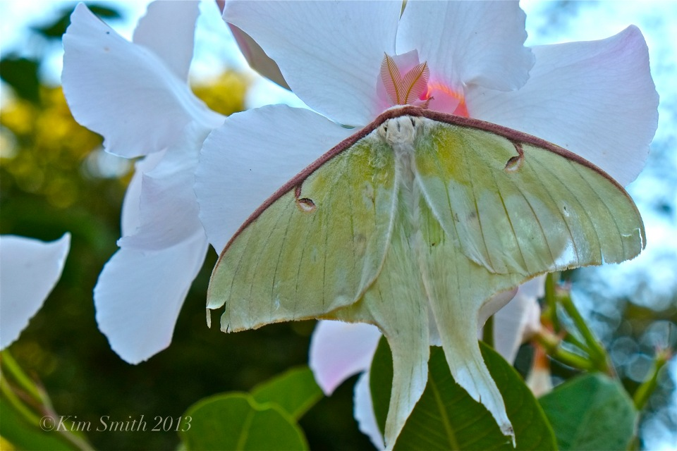 Male Luna Moth Actias Luna ©Kim Smith 2013