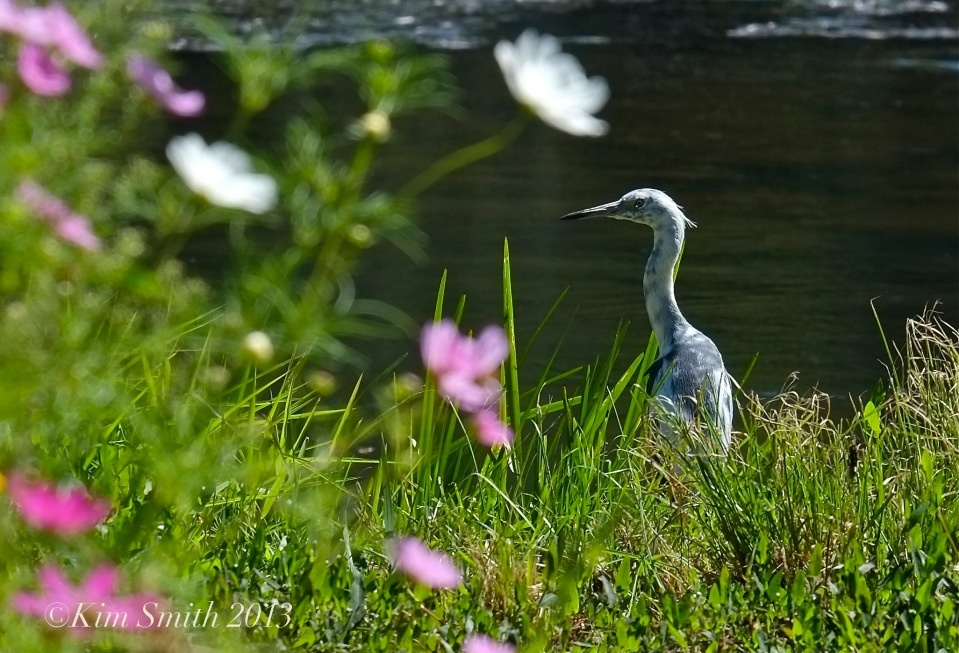Large file Juvenile Blue Heron & Cosmos Donovan ©Kim Smith 2013