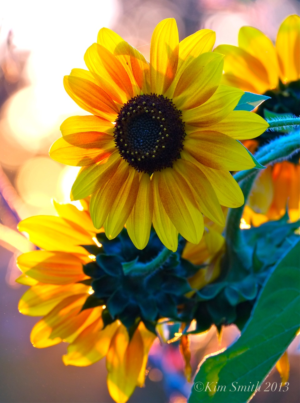 Sunflowers ©Kim Smith 2013