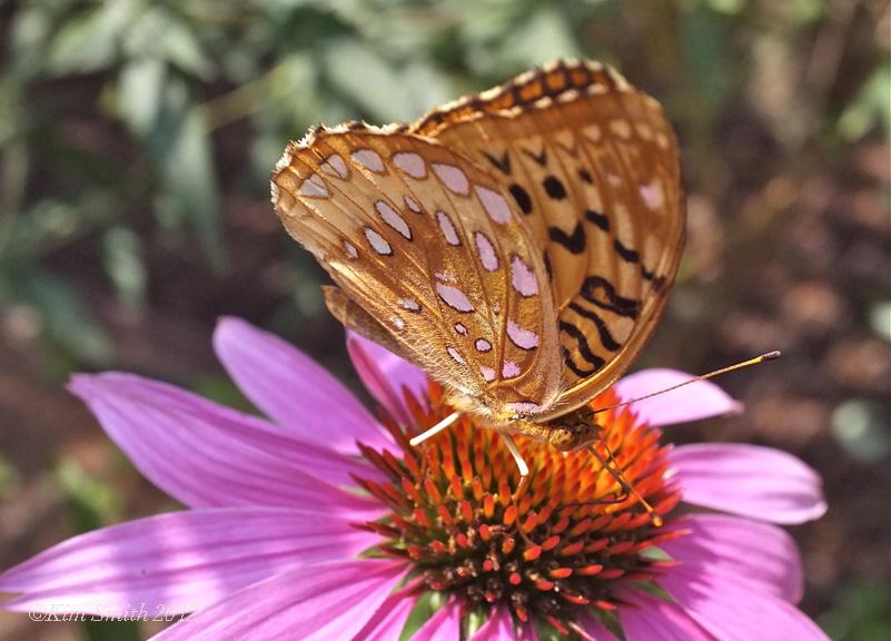 6- HW Great Spangled Fritillary ©Kim Smith 2012 copy
