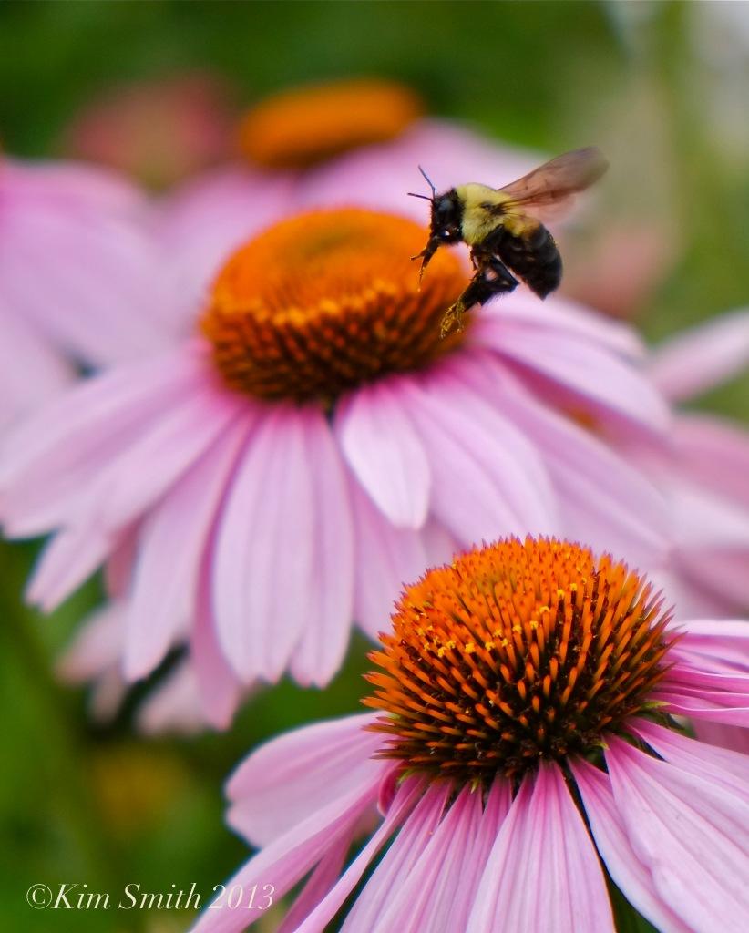 Coneflower Bee Gloucester HarborWalk Kim Smith 2013