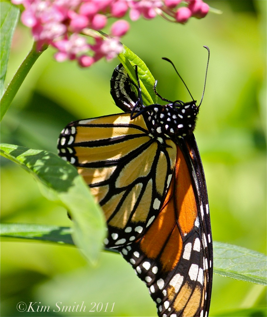 Female Monarch Butterfly Depositing Egg on Marsh Milkweed