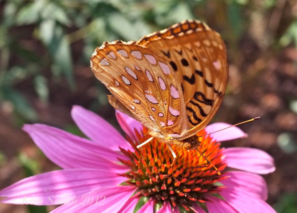 Great Spangled Fritillary Coneflower Gloucester harborwalk ©Kim Smith 2012 copy