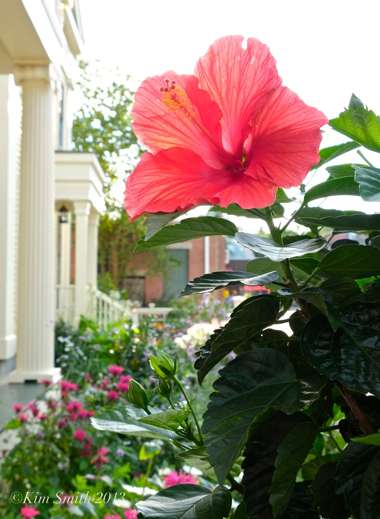 Mary Prentiss Inn hibiscus -2 ©Kim Smith 2013