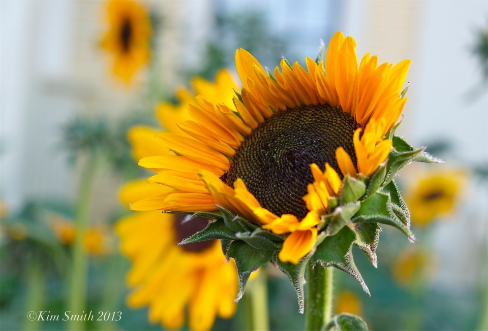 Mary Prentiss Inn sunflower ©Kim Smith 2013
