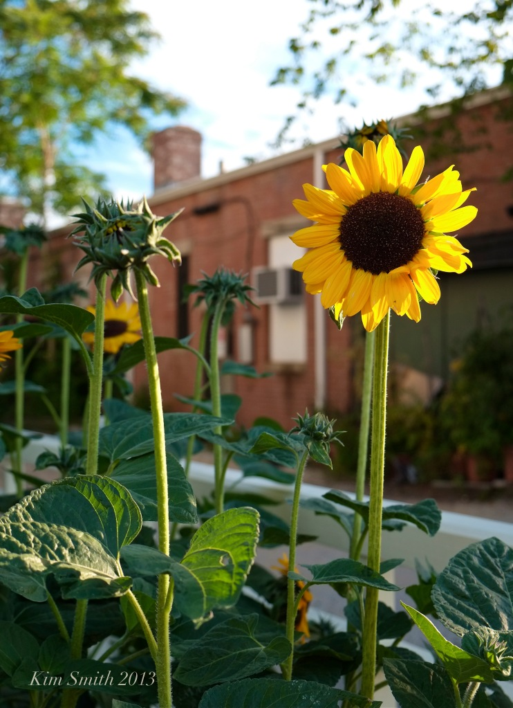 Mary Prentiss Inn -sunflowers ©Kim Smith 2013 copy