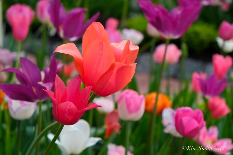 Mary Prentiss Inn tulips -4 ©Kim Smith 2013