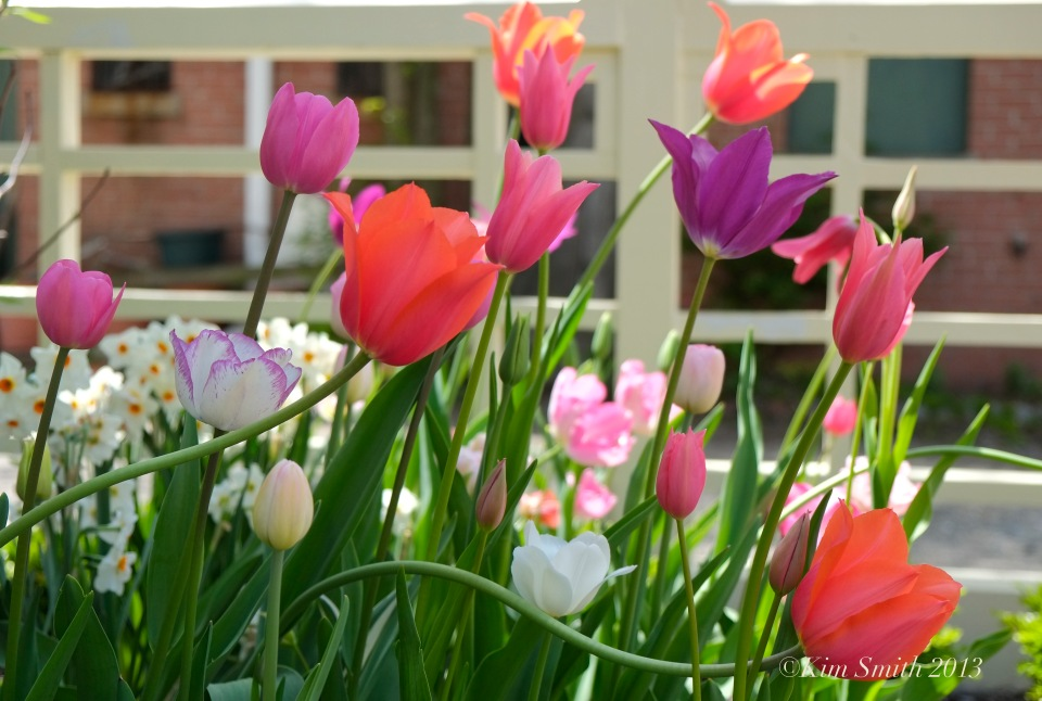 Mary Prentiss Inn tulips ©Kim Smith 2013