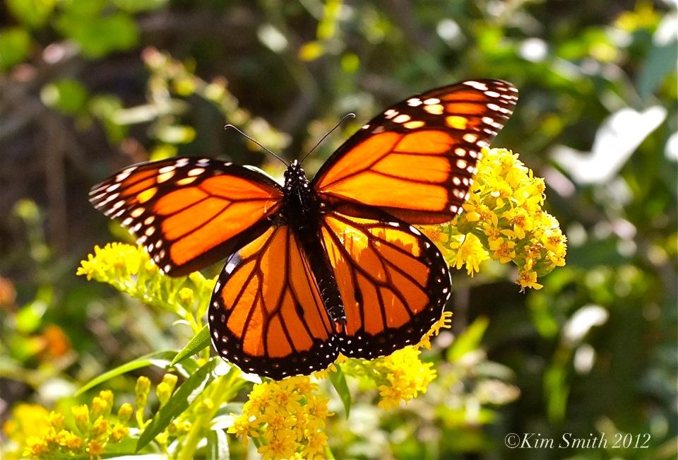 Monarch Butterfly Seaside Goldenrod Gloucester HarborWalk Kim Smith 2012