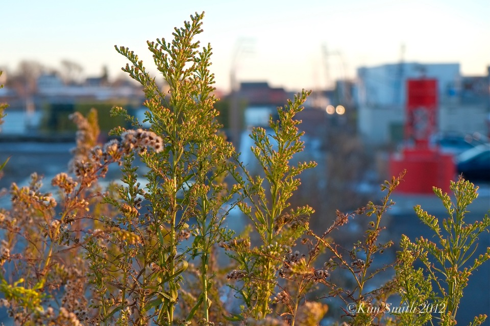 Seaside Goldenrod Autumn Gloucester Harborwalk ©Kim Smith 2012