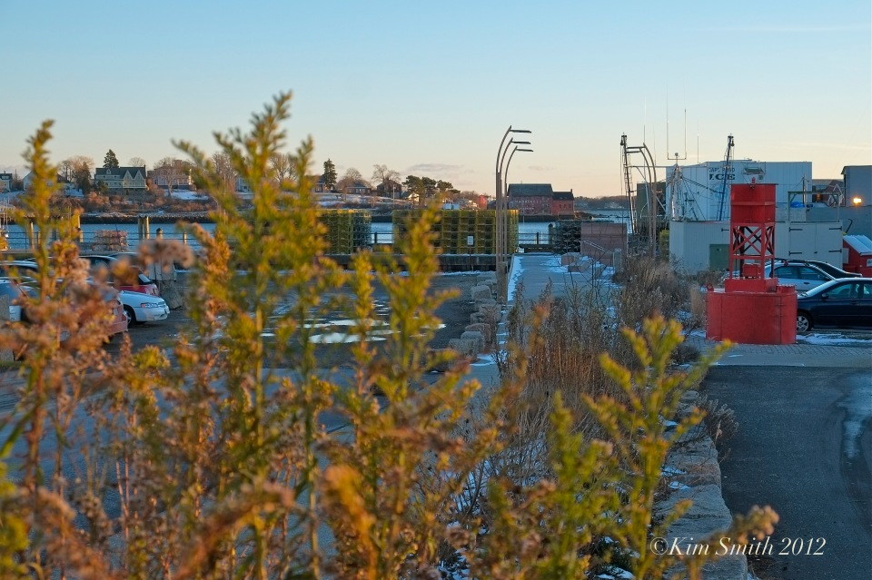 Seaside Goldenrod Gloucester harborwalk ©Kim Smith 2012