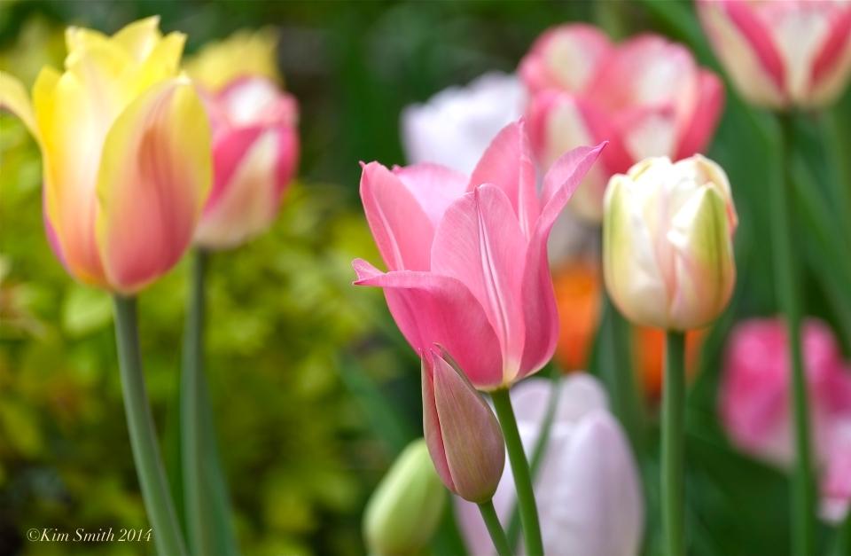 Spring Tulips Mary Prentiss Inn Cambridge MA. ©Kim Smith 2014JPG