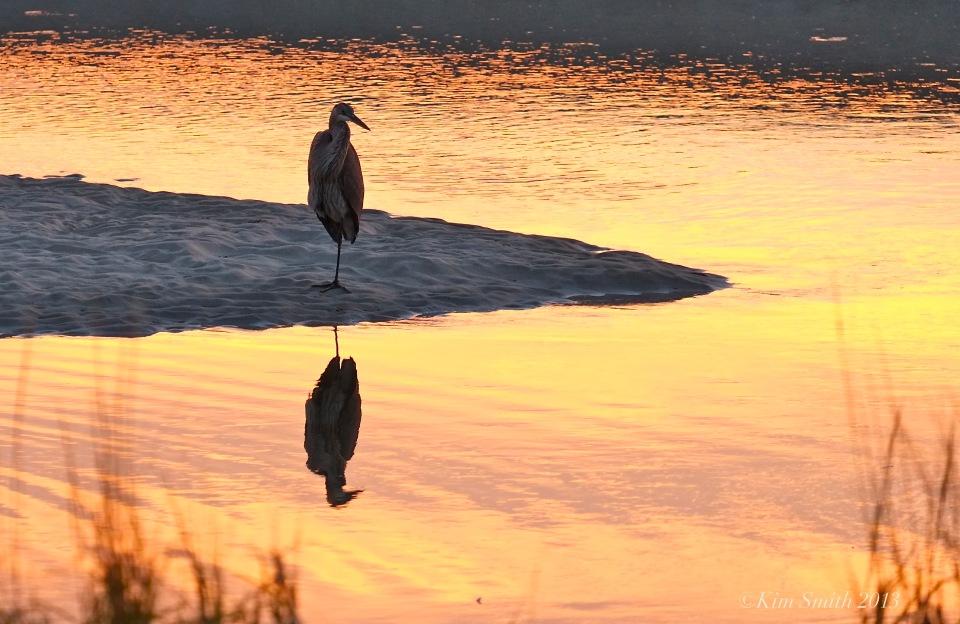 Great blue Heron one leg -2©Kim Smith 2013