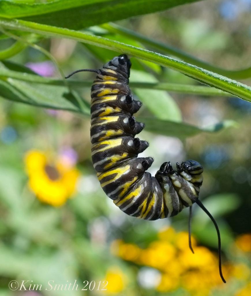 Monarch Caterpillar milkweed -2 © Kim Smith 2012