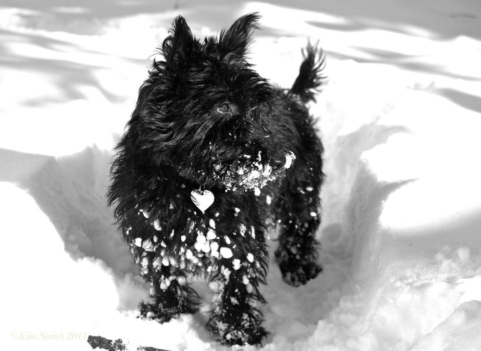 Rosie Scottish terrier snow ©Kim Smith 2013