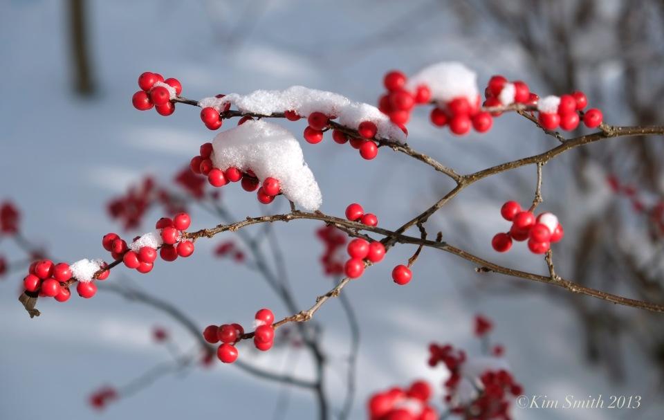 Winterberry Ilex verticillata snow ©Kim Smith 2013