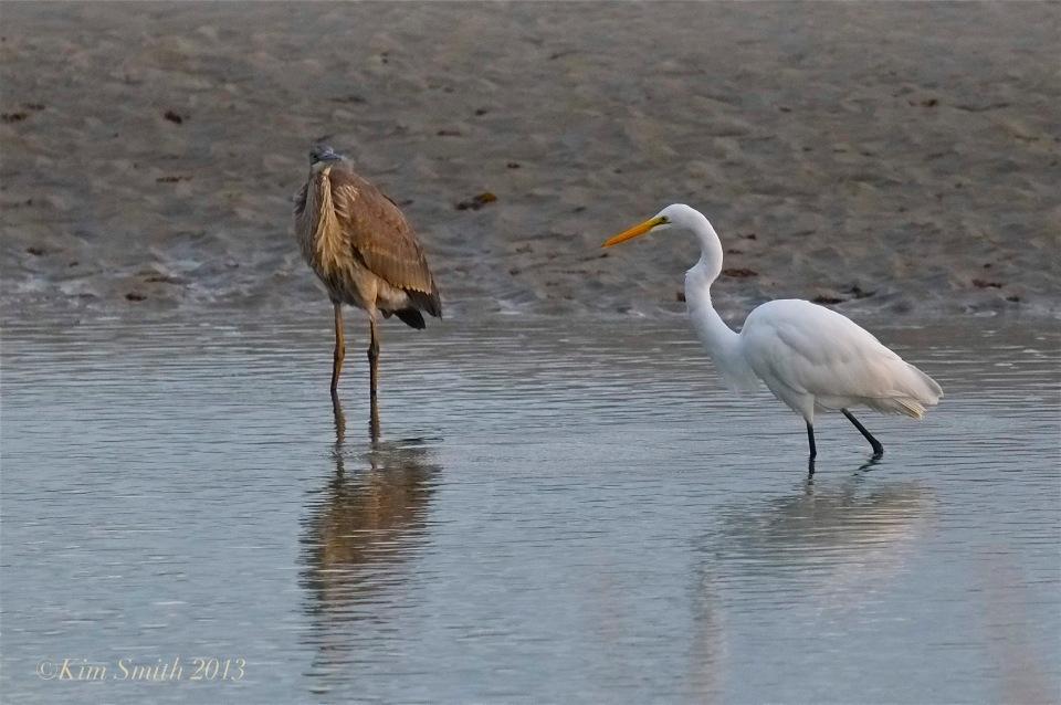 Great Blue Heron Great Egret Gloucester ©Kim Smith 2013