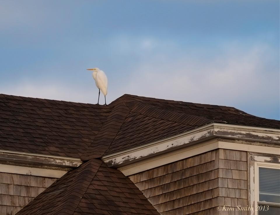 Great Egret Gloucester Massachusetts ©Kim Smith 2013