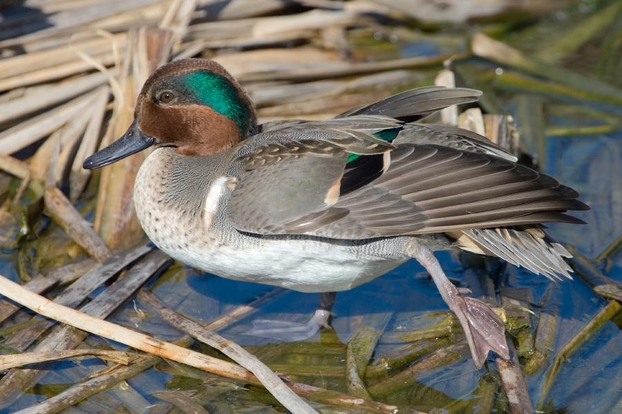 Green-Winged Teal, Birding Center, Port Aransas, Texas