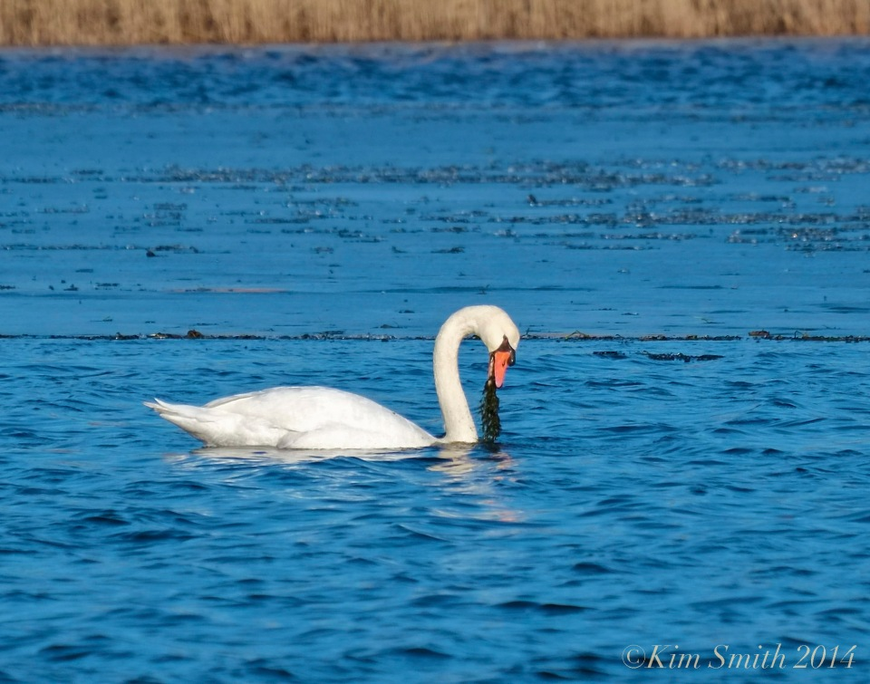 Swan food winter ©Kim Smith 2014