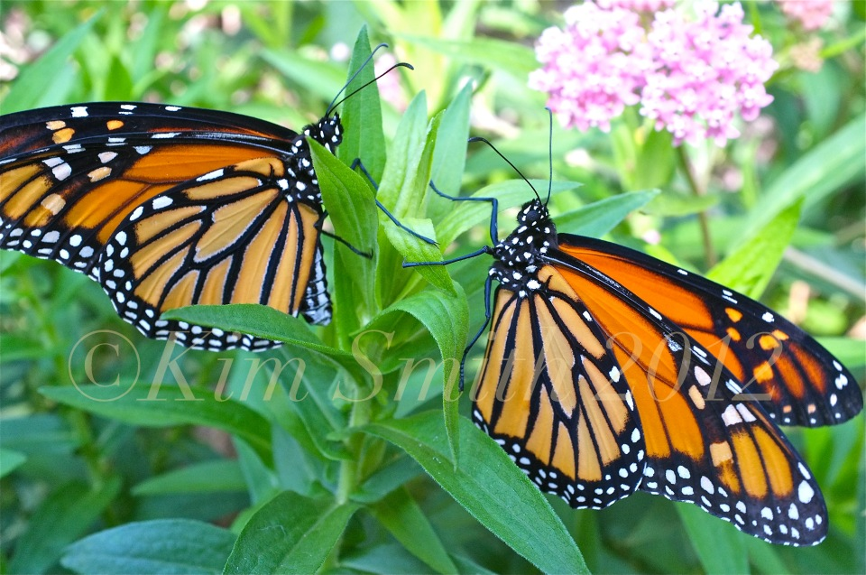 Male Female Monarch Butterfly Marsh Milkweed STOCK©Kim Smith 2012