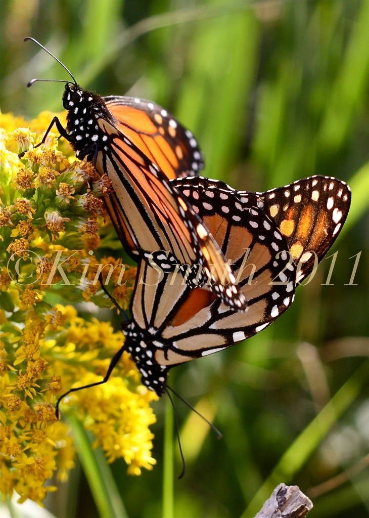 Monarch Butterflies Mating Seaside Goldenrod ©Kim Smith 2011