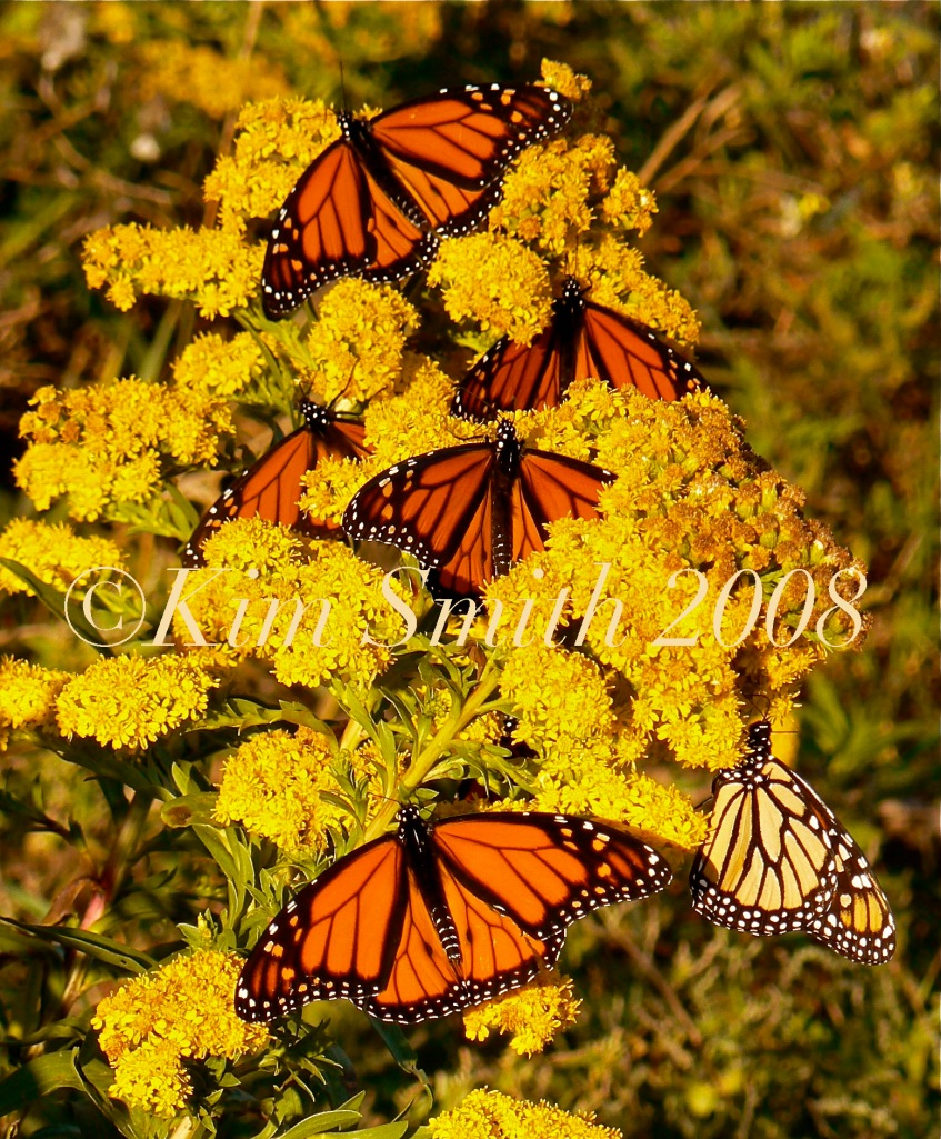 Monarch Butterflies Seaside Goldenrod Gloucester ©Kim Smith 2008