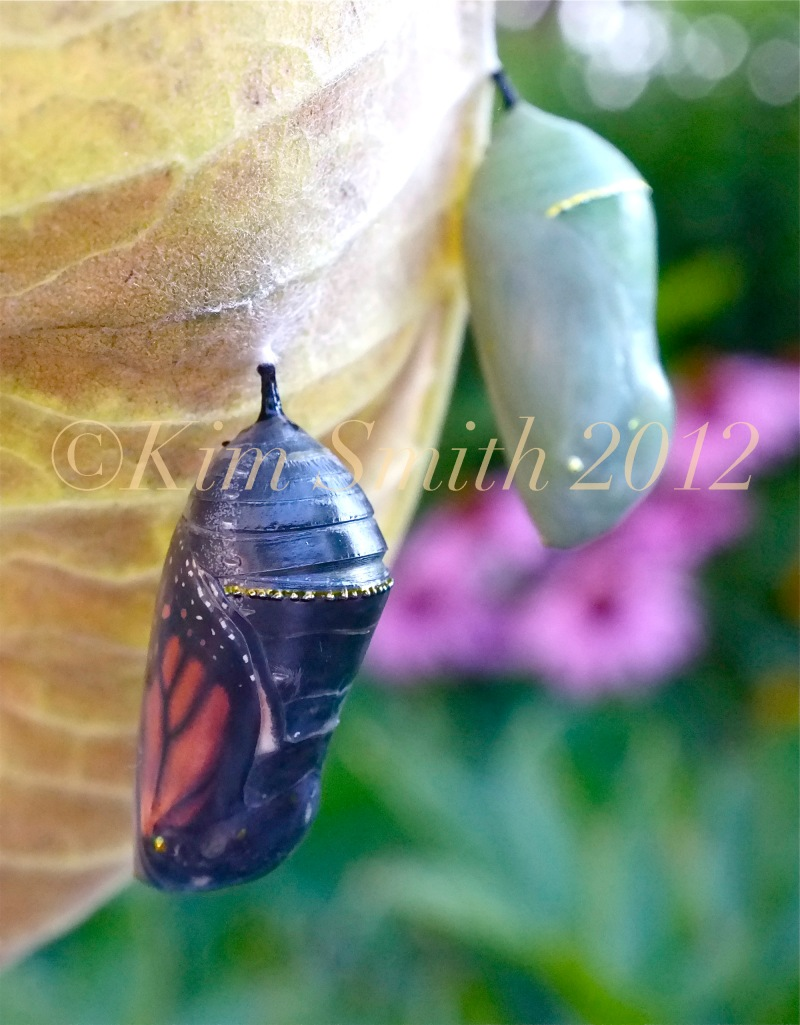 Monarch Butterfly Chrysalis Green Black Gold Dot ©Kim Smith 2012